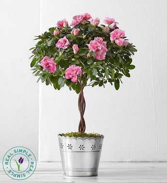 Azalea Topiary by Real Simple®