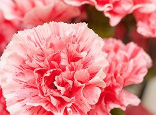 January Birth Flower - Carnation