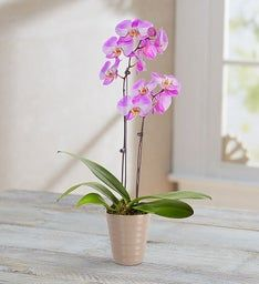 Tickled Pink Double Orchid + Free Shipping