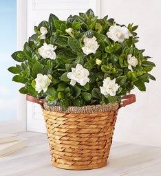 Blooming Gardenia Basket