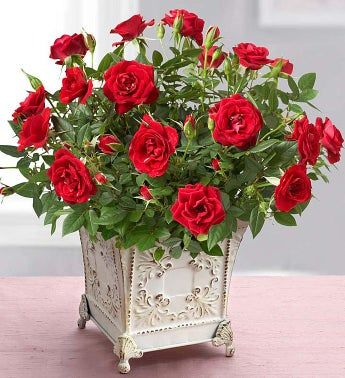 February - Red Rose Plant