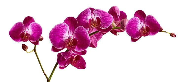 Sympathy Pink Orchids