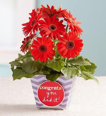 Congrats You Did It Gerbera Daisy