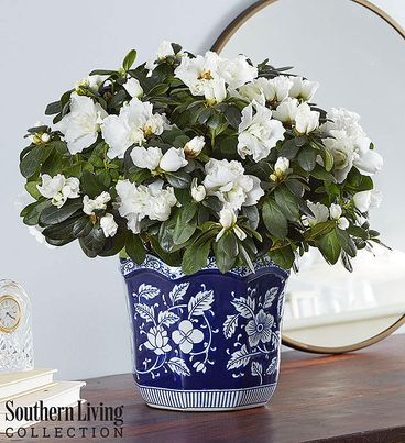 White Azalea by Southern Living®