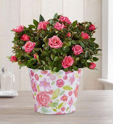 Budding Pink Rose