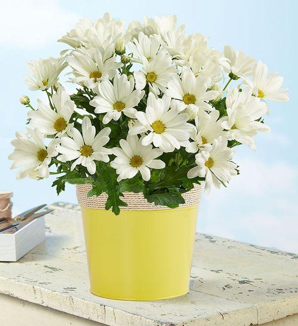 White Daisy Mum